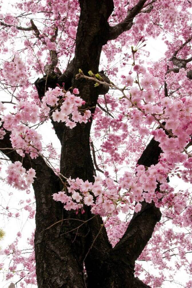 Составлен прогноз цветения сакуры на 2017 год