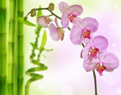 Бамбук и розовая орхидея
